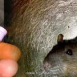 Rat fever on rampage in Sri-Lanka, 70 dead, 6,000 on danger list